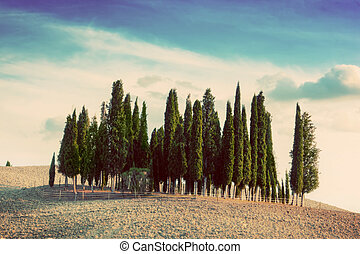 Cypress trees on the field in Tuscany, Italy at sunset. Vintage