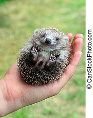 hedgehog in the palms - little hedgehog in the hands of a...