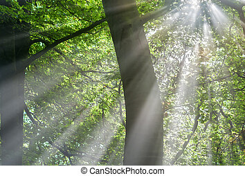 Sunbeams - sunbeams through the forest foliage