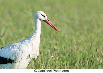 Stork standing in grass - Portrait single stork standing in...