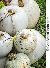 White pumpkins - Big white ripe pumpkins at autumn farmers...