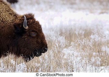 Bison on snowy prairie - A bison grazes on grasses coated in...