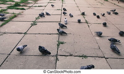 Flock of pigeons peck grain - Flock of pigeons peck grain in...