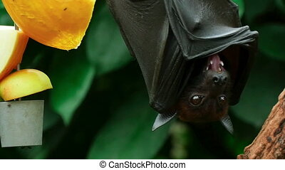 Flying fox - Lyles flying fox Pteropus lylei eating fruit,...