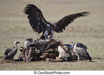 Vultures - A group of vultures, Lake Nakuru National Park,...