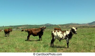 cattle in a lush green field