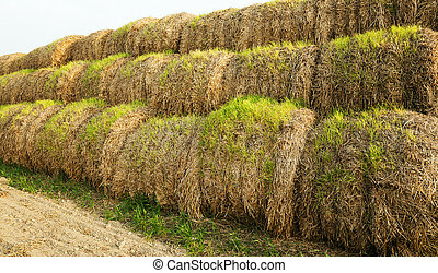 the sprouted wheat