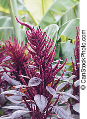 Amaranth purple - Beautiful Amaranth purple flower in the...