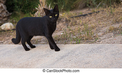 black cat - young smart beautiful black cat walking on the...