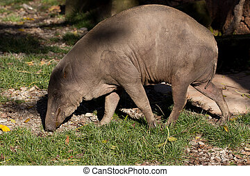 North Sulawesi babirusa - Endemic North Sulawesi mammal...