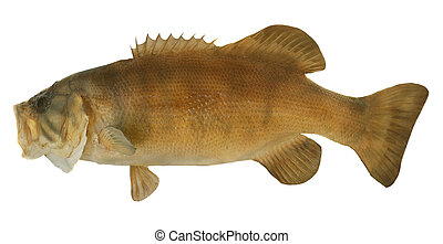 Smallmouth Bass Profile - Side view of a large smallmouth...