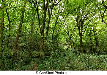 Hornbeam temperate forest in south west France near Bordeaux