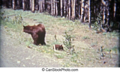 1961: Grizzly bear mom and cubs - Classic vintage 8mm film...