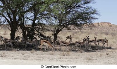 herd of springbok hiding under a bi