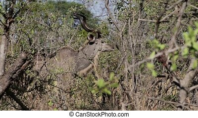 Kudu on african bush, Etosha national Park, Ombika, Kunene,...
