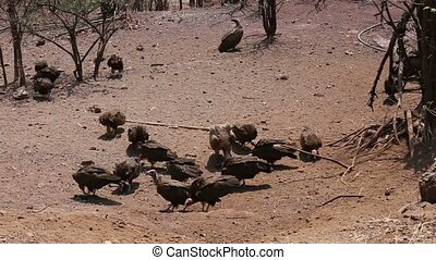flock of White backed vulture feast on carrion in Zimbawe...