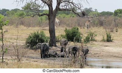 herd of African elephants bathing at a muddy waterhole with...
