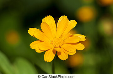 Calendula flower close up - photographed close up yellow...