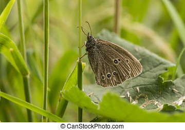 Ringlet butterfly in the grass