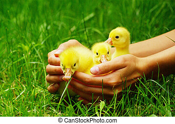gosling in hand - a yellow fluffy gosling in the hand