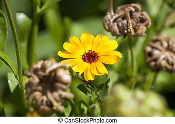 Calendula flower. close up - photographed close up yellow...