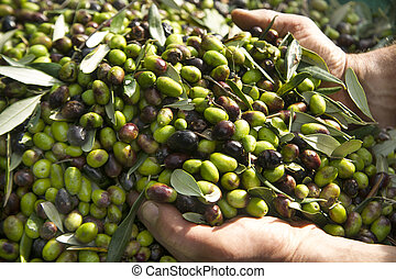 The olive harvest - Hands gather the olives to the mill to...