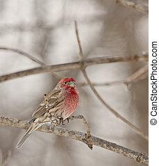 House Finch (Carpodacus mexicanus) - Male house finch...
