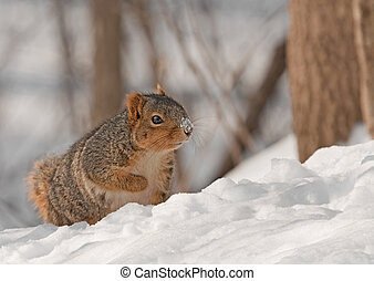 Fox Squirrel Sciurus niger - Fox squirrel Sciurus niger in...