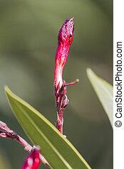oleander in autumn