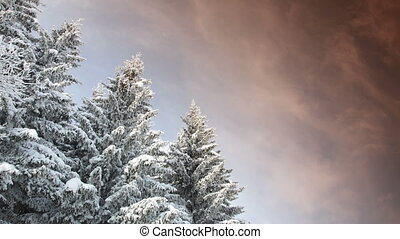 time-lapse of pine trees - time lapse of snowy pine trees...