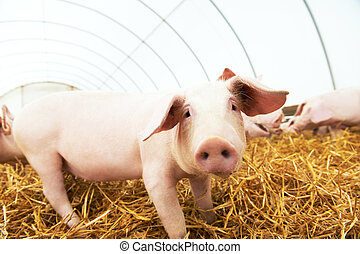 piglet on hay and straw at pig breeding farm - One piglet on...
