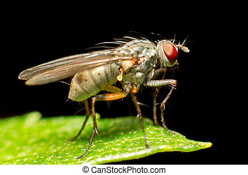 Pure Breed Fly - True Flies Are Insects Of The Order Diptera...