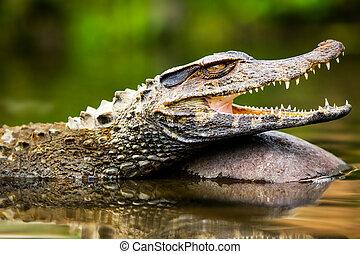 vild, Kajman, Crocodilus,
