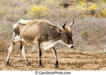 Skinny Domestic Cow - Sick Animal With Signs Of Severe...