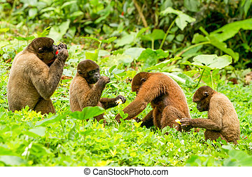 Chorongo Monkey Family - Family Of Chorongo Monkey In...