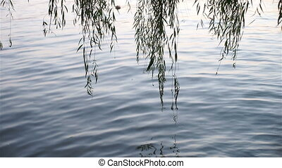 willow trees and lake - willow trees growing around the west...
