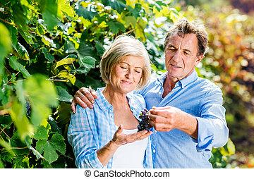 Couple harvesting grapes - Portrait of a senior couple...