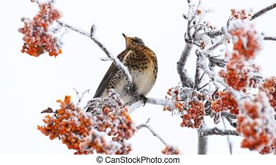 Thrush siting on the rowanberry tree in winter
