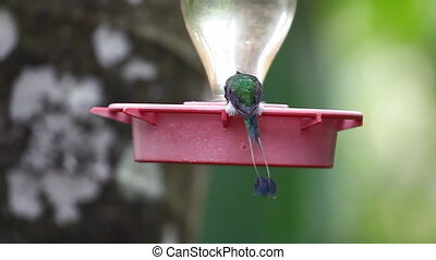 Booted racket-tail visits a feede - Booted racket-tail,...
