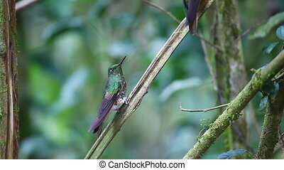 Buff-tailed Coronet close up - Buff-tailed Coronet,...