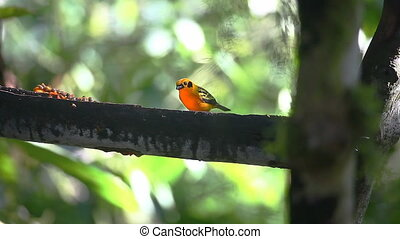 Bright Golden Tanager, Tangara arthus, at a feeder in...