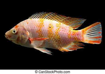 manchado, pez,  tilapia, rojo