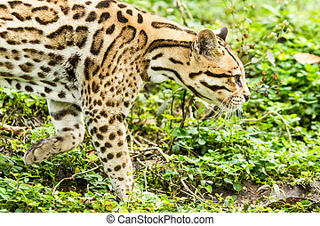 Ocelot Leopardus Pardalis Stalking In The Dense Amazonian...