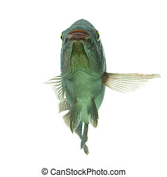 Tilapia Fish Isolated On White Studio Shot - Mozambique...