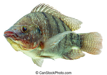 Tilapia Fish Profile - Mozambique Tilapia Profile Shot...