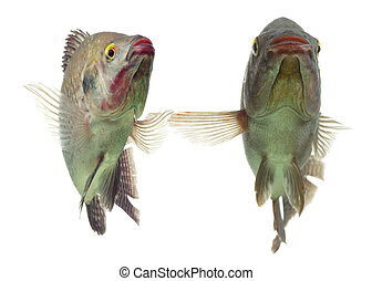 Tilapia Fish Pair - Pair Of Tilapia Fish Dancing Live...