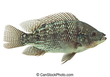 Mozambique Tilapia Fish - Mozambique Tilapia Isolated On...