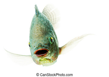 Happy Tilapia Fish - Head Shot Of An Mozambique Tilapia...