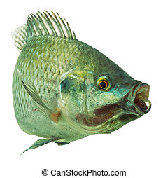 Tilapia Fish On White - Mozambique Tilapia Oreochromis...