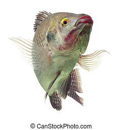 Happy Tilapia Fish Isolated On White - Mozambique Tilapia...